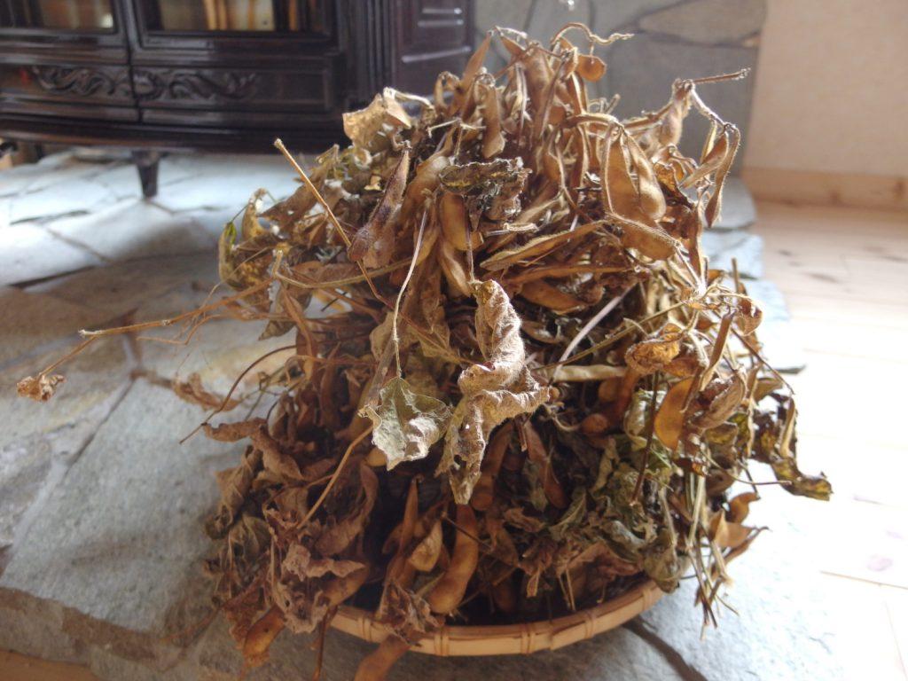 枝豆が大豆になりました。 これで我が家のみそづくりも素材から育てる真のみそづくりへ!